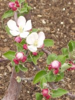 Apple Tree in bloom