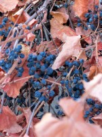 Canyon Grape - Raisins on the Vine