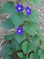 Morning Glory in Bloom