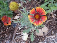 Firewheel - Gaillardia pulchella
