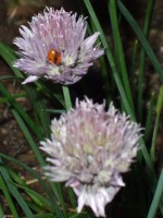 Ladybug on a Chives Blossom
