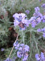 Lavender blooms