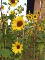Sunflowers - Helianthus annuus