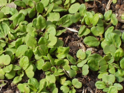 Winter sown greens sprouting
