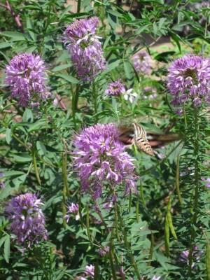 Kitchen Garden & Coop Tour 2014 - Hawk moth and flowers