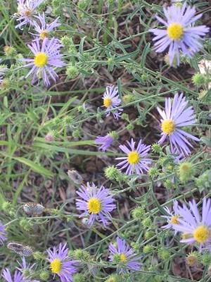 Purple Asters - Machaeranthera bigelovii