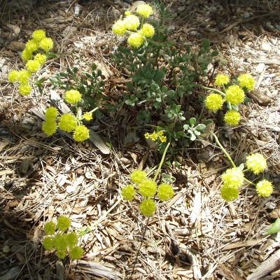Sulphurflower Buckwheat in bloom