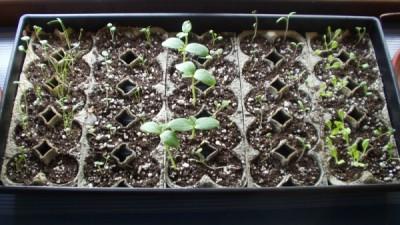 Tray of Seedlings
