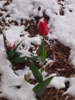 Tulip in snow