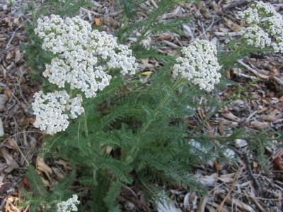 Common Yarrow in bloom